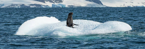 Wall Art - Photograph - Seal Resting On Iceberg Floating by Panoramic Images