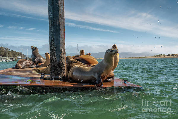 Hair Of The Dog Wall Art - Photograph - Seals by Hanna Tor