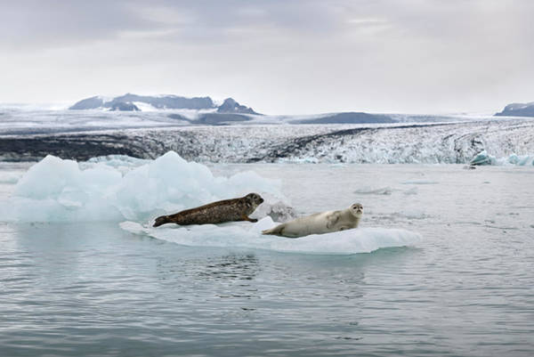 Photograph - Seals On An Iceberg In Jokulsarlon Glacier Lagoon by RicardMN Photography