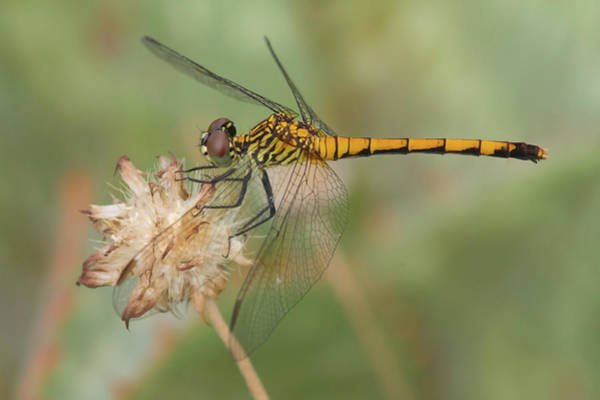 Photograph - Seaside Dragonlet by Paul Rebmann