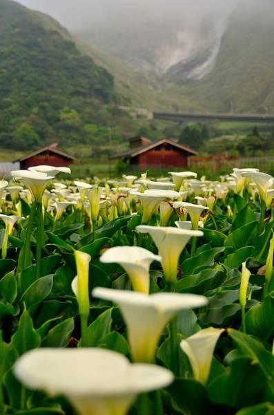 Calla Photograph - Seasons Of Calla Lilies~~ by Photo@stanley Hsu From Taiwan