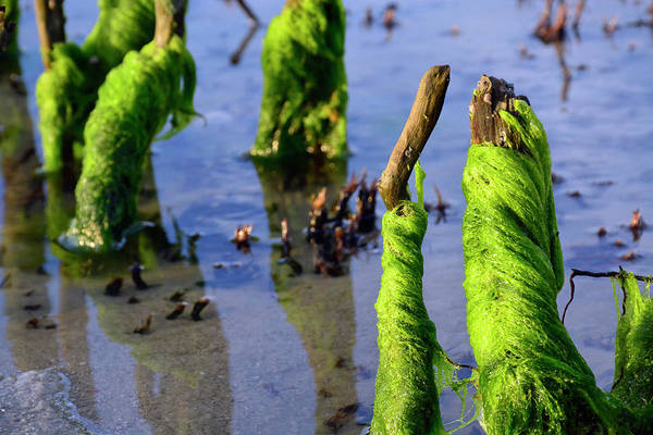 Photograph - Dancing Seaweed by Bruce Gourley