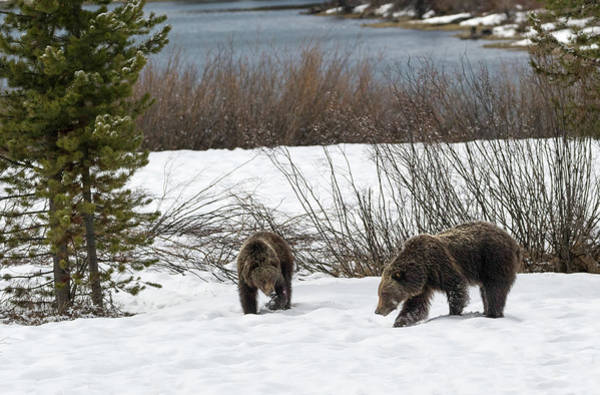 Photograph - Second Year Cubs by Ronnie and Frances Howard