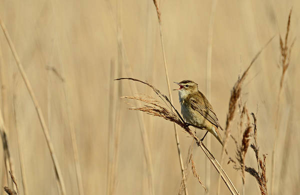 May Day Photograph - Sedge Warbler by David Tipling