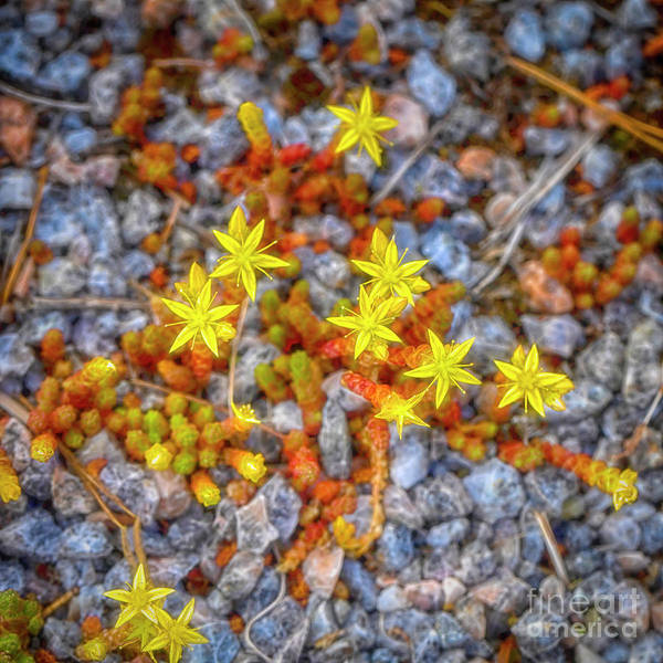 Wall Art - Photograph - Sedum Acre by Veikko Suikkanen