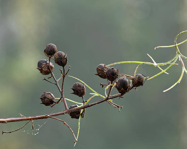 Wall Art - Photograph - Seed Pods by Richard Rizzo