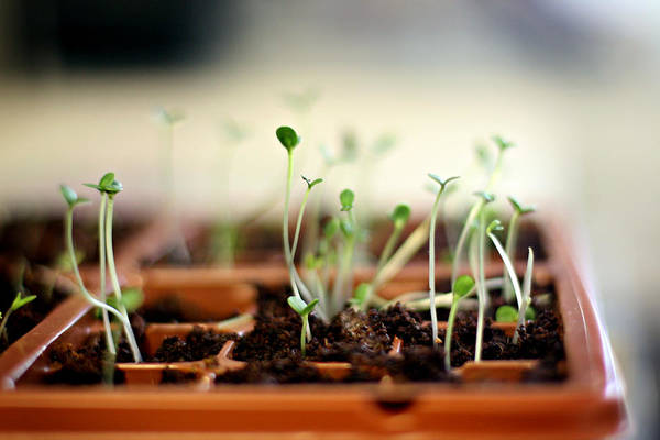 Tray Photograph - Seedlings Growing In Small Tray by Brandi Ediss