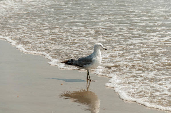 Photograph - Segul Standing In The Surf by Dan Urban