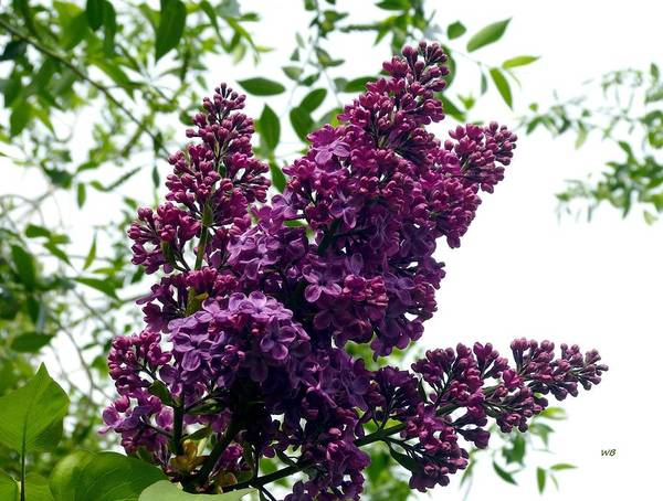 Wall Art - Photograph - Select French Lilacs by Will Borden