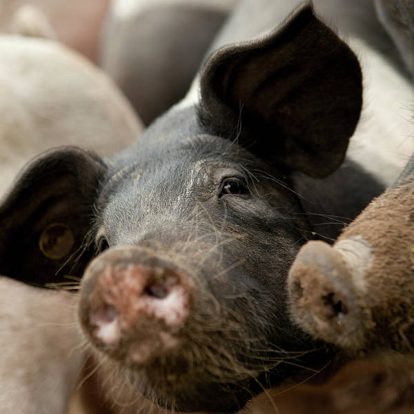 Pig Photograph - Selective Focus Of A Pig by Bartco