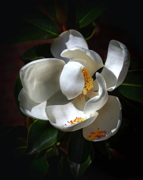 Photograph - Seminary Magnolia  by Harriet Feagin