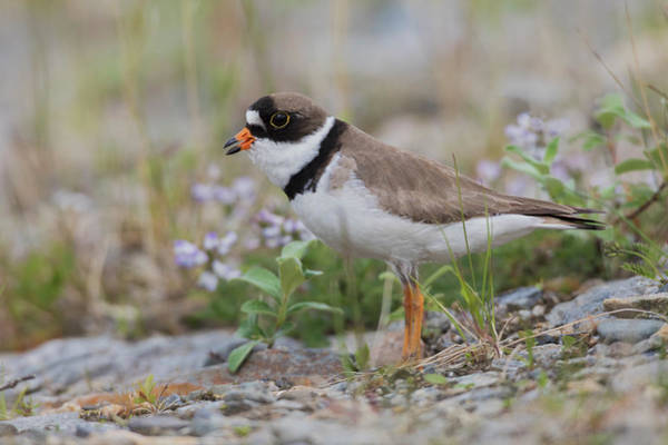 Semipalmated Plover Calling, Creek Bed Art Print by Ken Archer