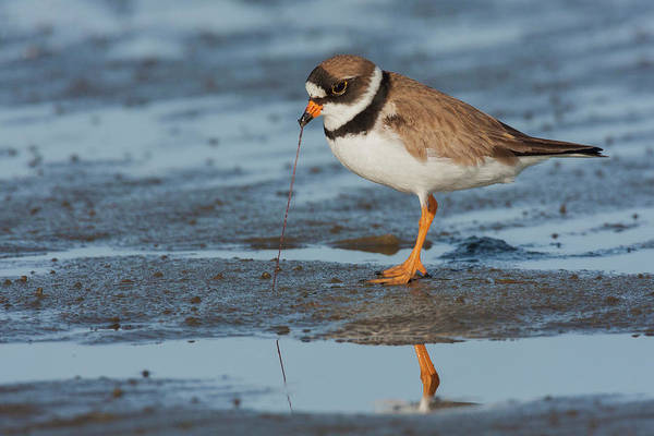Wall Art - Photograph - Semipalmated Plover With Potential Meal by Ken Archer