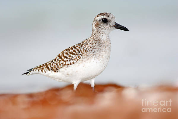 Conservation Wall Art - Photograph - Semipalmated Sandpiper, Calidris by Ondrej Prosicky