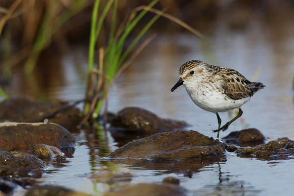 Wall Art - Photograph - Semipalmated Sandpiper Foraging by Ken Archer