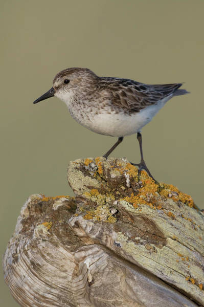 Wall Art - Photograph - Semipalmated Sandpiper, Posing On Drift by Ken Archer