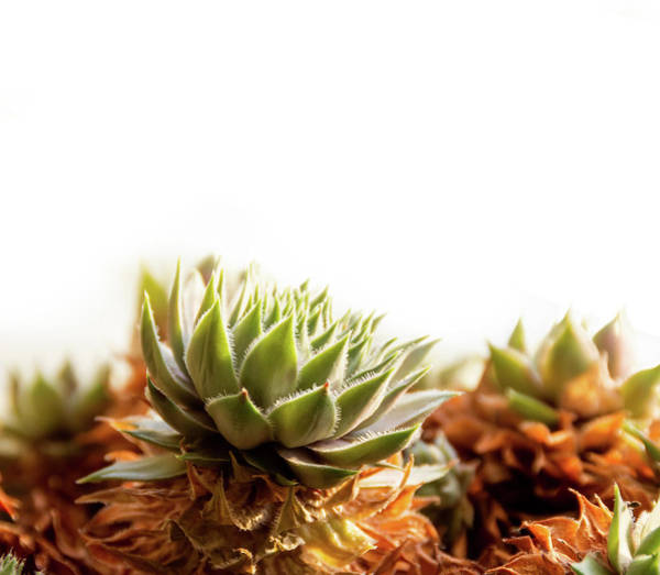 Photograph - Sempervivum On White by Scott Lyons