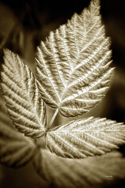 Photograph - Sepia Leaves by Christina Rollo