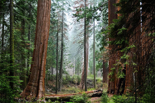 Photograph - Sequoia Grant Grove by Kyle Hanson