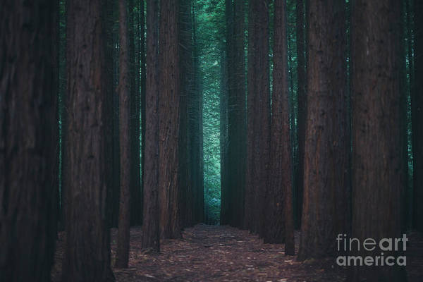Redwoods Photograph - Sequoia Redwood Forest by Ivan Krpan