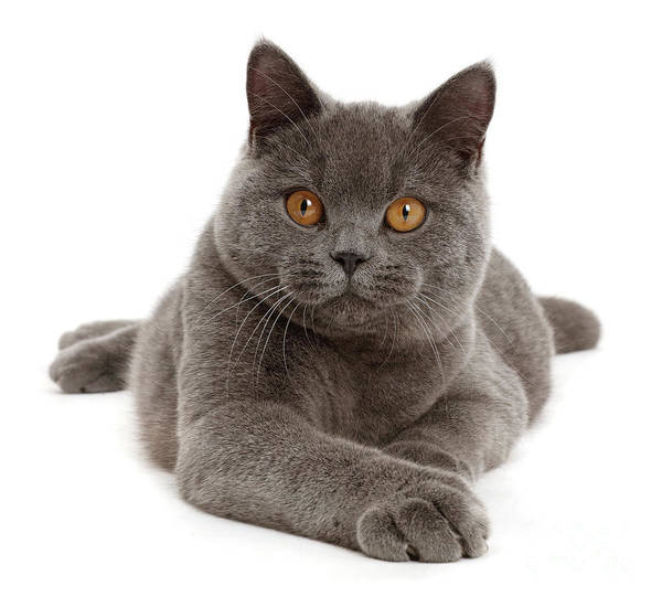 Photograph - Serious Grey Cat by Warren Photographic