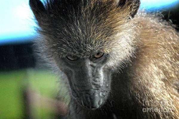 Photograph - Serious Macaque Monkey  by Doc Braham