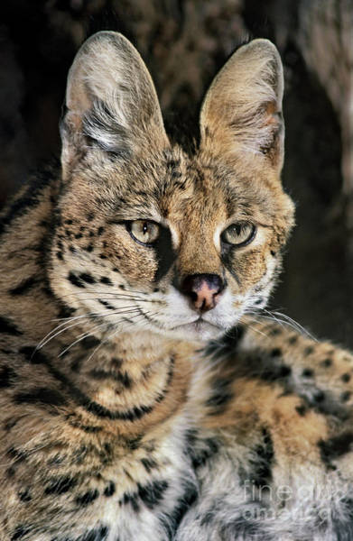 Photograph - Serval Portrait Wildlife Rescue by Dave Welling