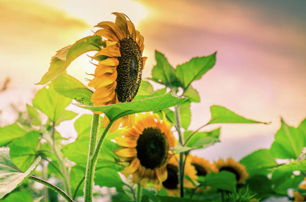 Photograph - Setting Sun And Sunflowers by Allin Sorenson