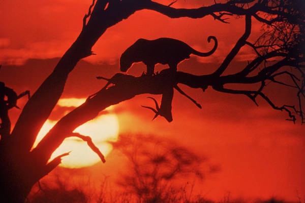 Setting Photograph - Setting Sun Silhouttes A Leopard And by John Dominis