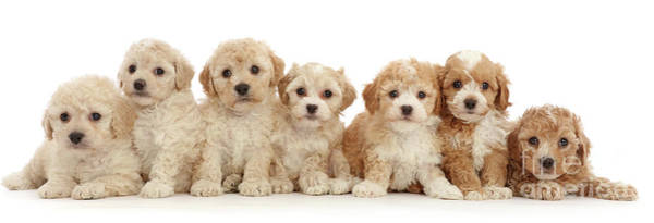 Photograph - Seven Cavapoochon Puppies by Warren Photographic