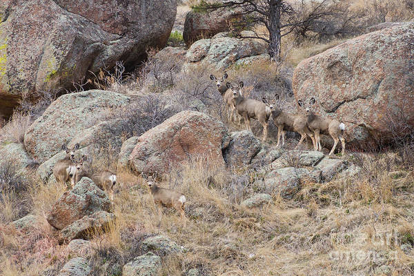 Photograph - Seven Mule Deer by James BO Insogna