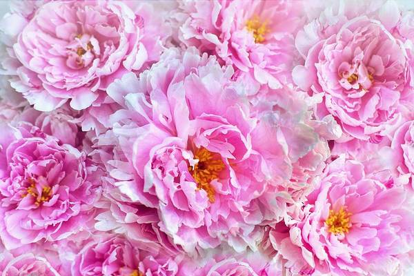 Painting - Shabby Chic Pink Peonies by Joy of Life Arts