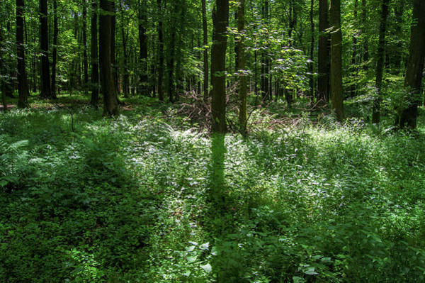 Photograph - Shadow And Light In A Forest by Sun Travels