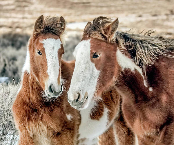Wall Art - Photograph - Shaggy Winter Mustangs by Dawn Key