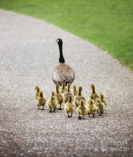 Mother Goose Photograph - Shallow Dof On Babies A Cute Family Of by Annette Shaff