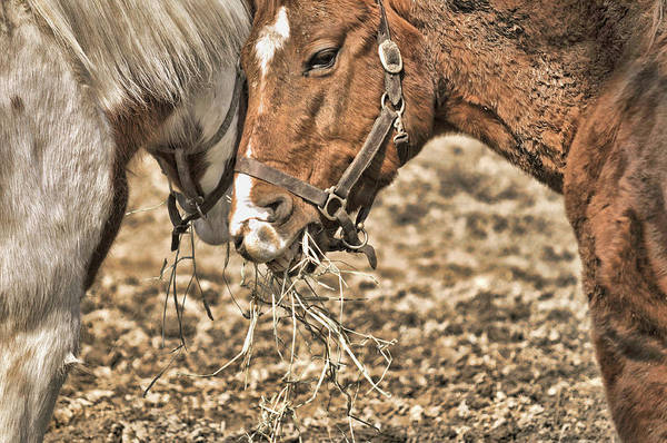Photograph - Sharing The Hay by JAMART Photography