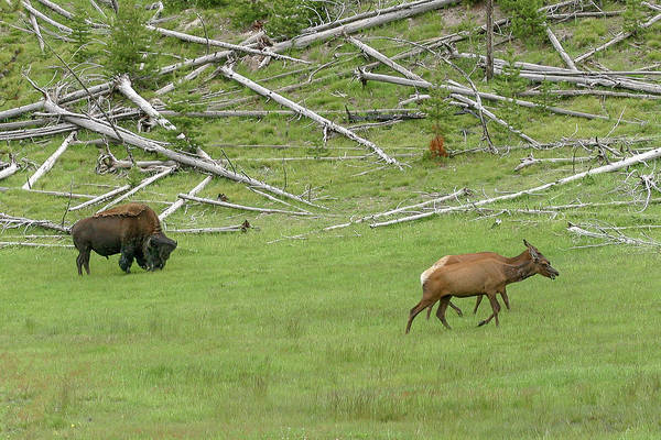 Photograph - Sharing Yellowstone by Ronnie and Frances Howard