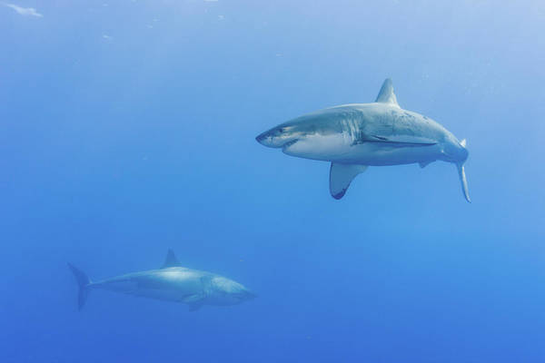 Photograph - Shark Infested Waters by Steven Trainoff Ph.d.