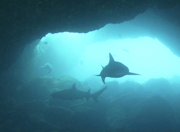 Underwater Photograph - Sharks Circling In Cave by Chris Stankis