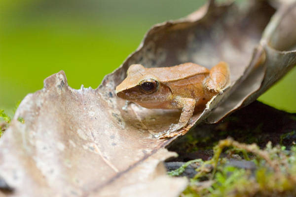 Wall Art - Photograph - Sharp-nosed Toad Bufo Dapsilis by Michael Lustbader