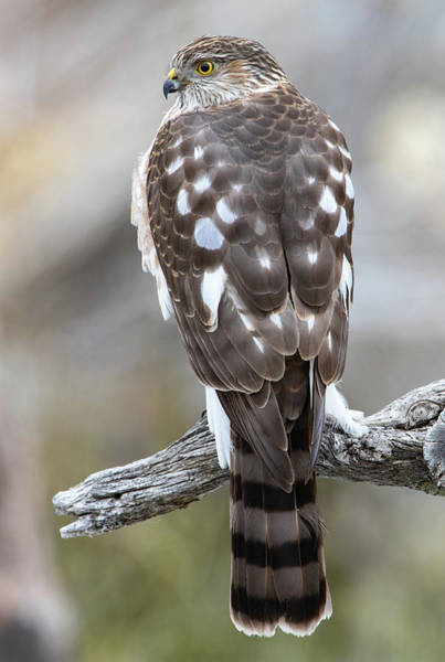 Sharp-shinned Hawk Art Print