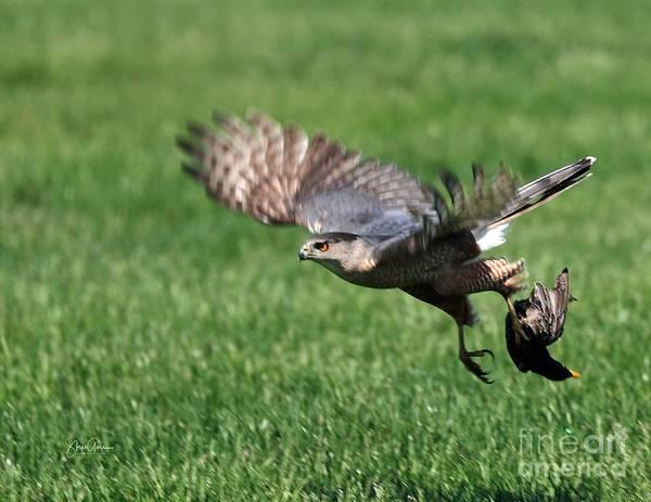 Wall Art - Photograph - Sharp Shinned Hawk With Prey by Steve Gass