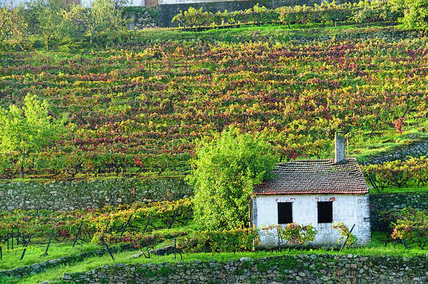 Cultivate Photograph - Shed In Autumn Vineyard by Ogphoto