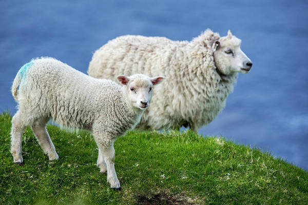 Photograph - Sheep And Lamb, Scotland by Arterra Picture Library