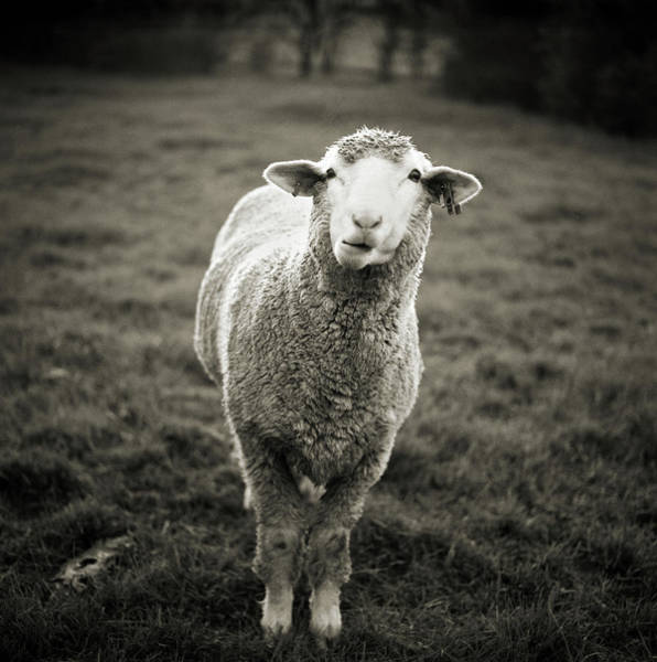 Livestock Photograph - Sheep Chewing Cud by Danielle D. Hughson
