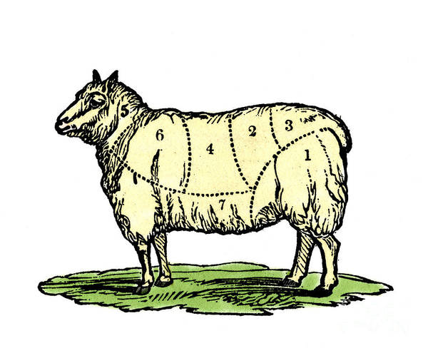 Wall Art - Drawing - Sheep, Cuts Of Meat by European School