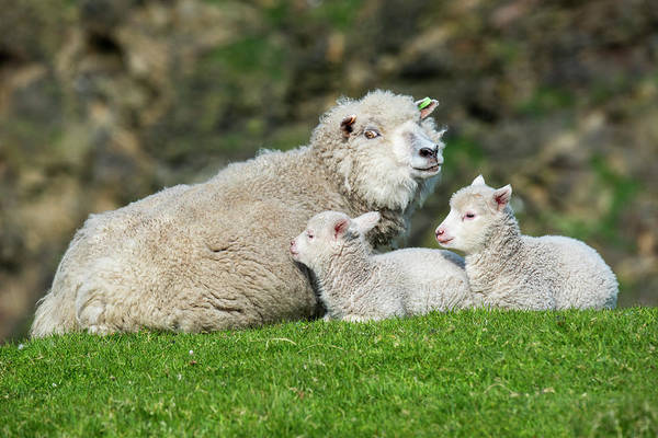 Photograph - Sheep Ewe With Two Lambs by Arterra Picture Library
