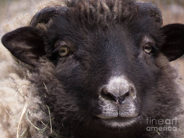 Photograph - Sheep Face 1 by Christy Garavetto