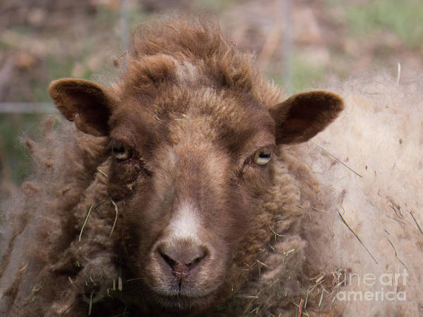 Photograph - Sheep Face 2 by Christy Garavetto