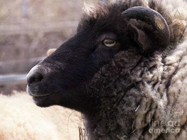 Photograph - Sheep Face 4 by Christy Garavetto